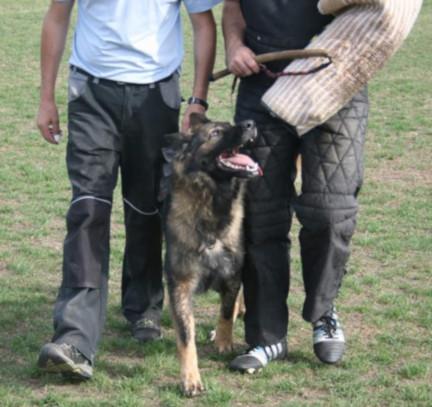 Schutzhund-Ausbildung Schäferhund