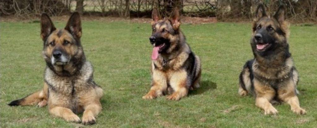3 Deutsche Schäferhunde